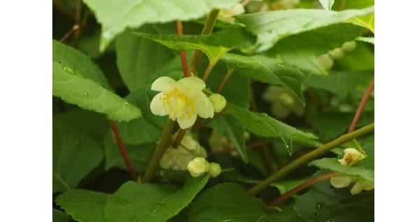またたびの花の写真