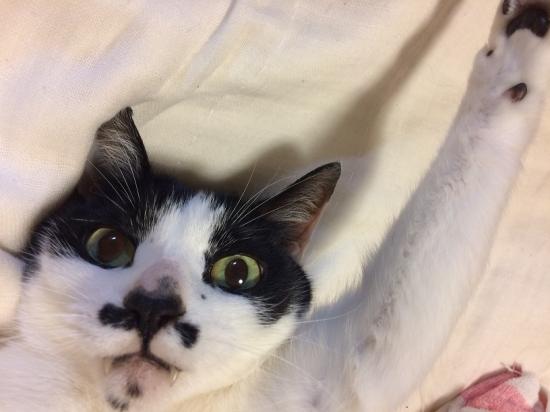 ハチワレ猫ちゃんの性格と特徴10254