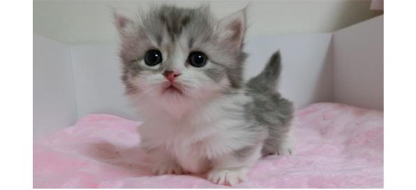 ナポレオン猫写真