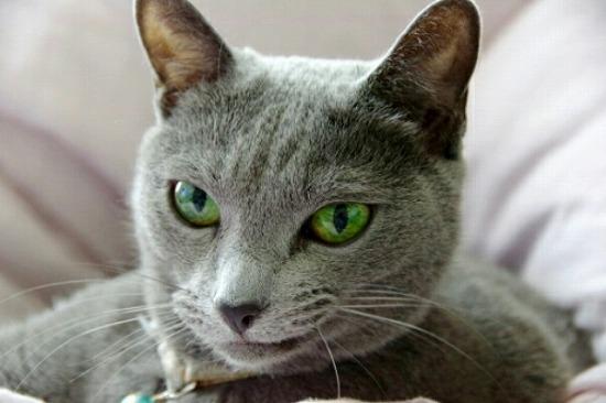 猫アレルギーでも飼える猫の種類001