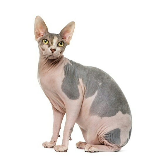 猫アレルギーでも飼える猫の種類005