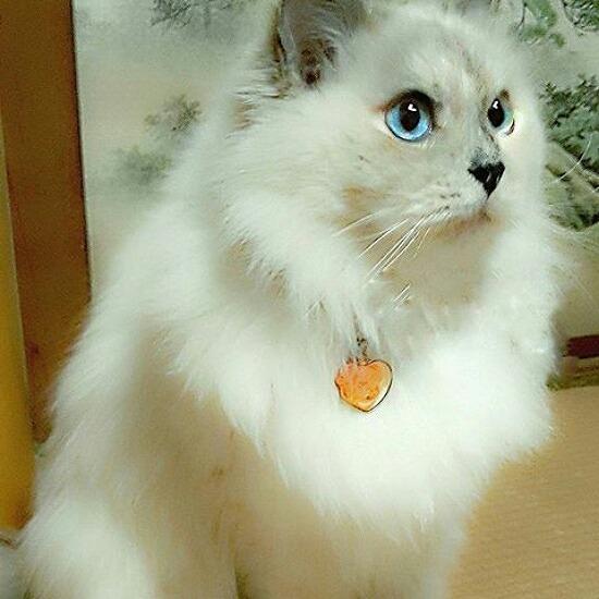 猫アレルギーでも飼える猫の種類006