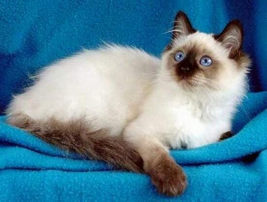猫アレルギーでも飼える猫の種類007