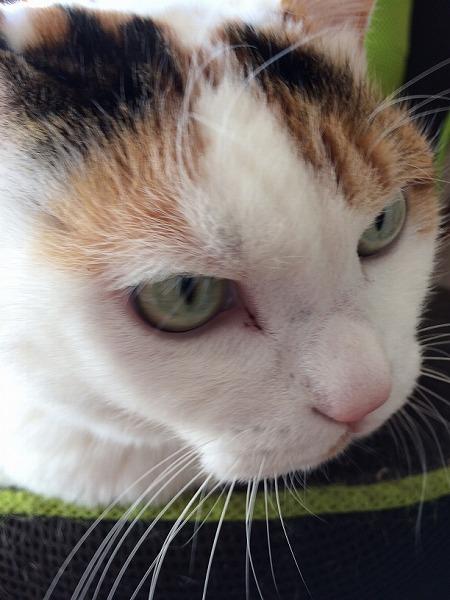 ジャパニーズボブテイル猫の顔写真