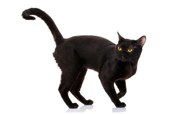 ボンベイ猫の全身写真