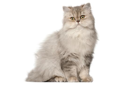 ペルシャ猫の全身写真