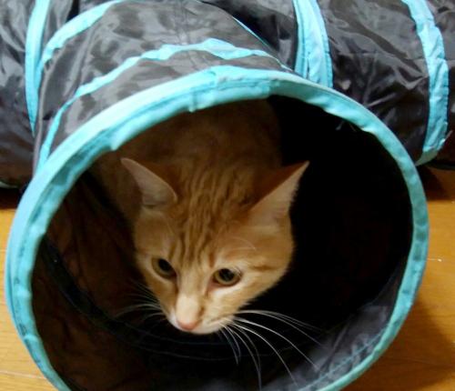 ビニールのトンネルで遊ぶ猫の写真