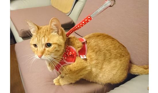 ハーネスをつけた猫のきなお写真