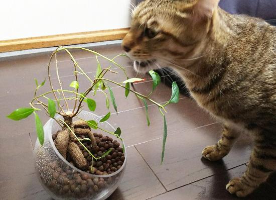 ガジュマルと猫の写真