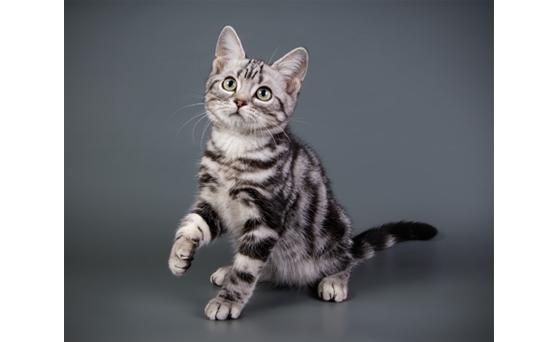 アメリカンショートヘア猫の写真