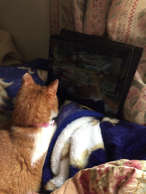 猫用ビデオを見る猫の写真