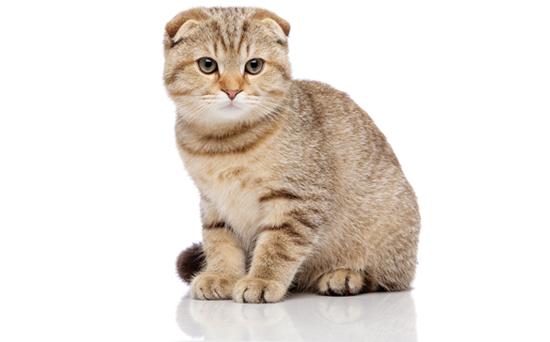 スコティッシュフォールド猫の写真
