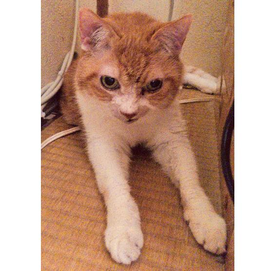 スフィンクス座りする猫の写真