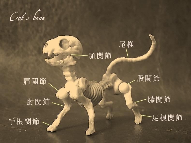 猫の関節の構造イラスト