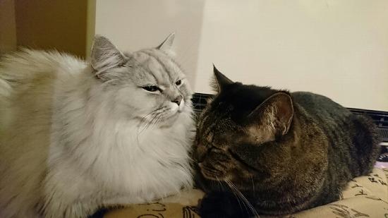 チンチラとキジトラの猫の写真