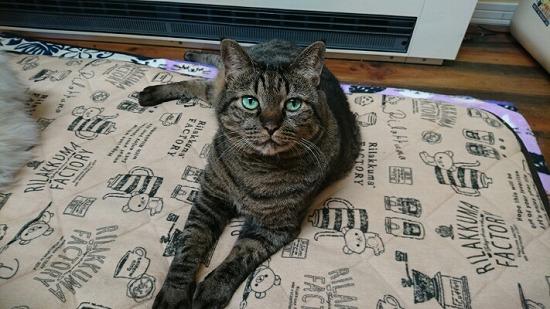 キジトラ猫の写真