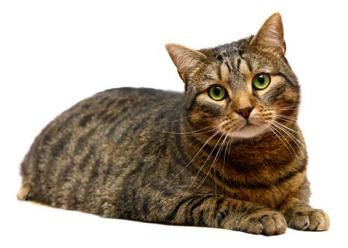 キジトラ猫の柄の写真