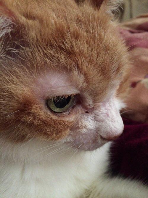 猫の目の上のはげの猫の写真1