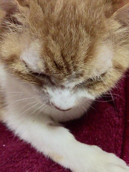 猫の目の上のはげの猫の写真2