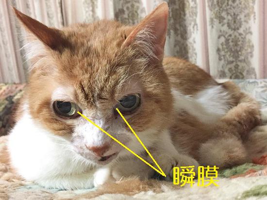 猫の瞬膜の写真