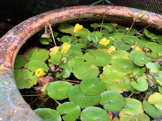 薬王院にあった水草の写真