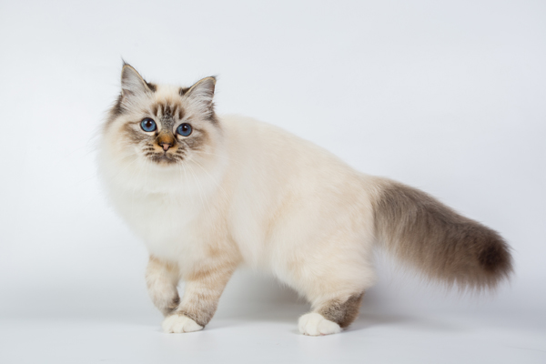 バーマン猫の写真
