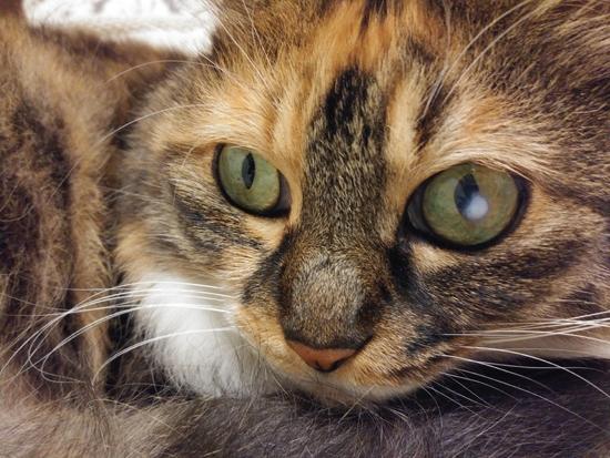 角膜炎の猫の目の写真1