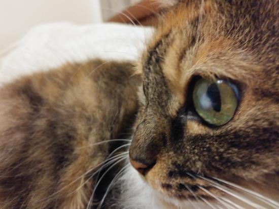 角膜炎の猫の目の写真2