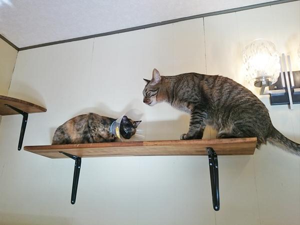 猫カフェめおまるけの猫スタッフあきととらじの写真