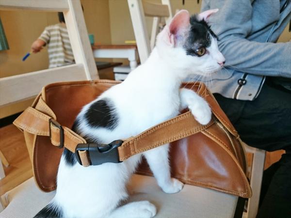 猫カフェめおまるけの猫スタッフふぅの写真