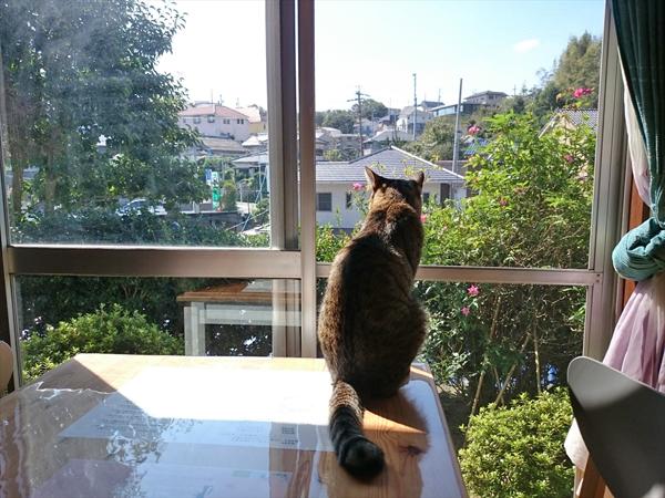 猫カフェめおまるけの猫スタッフとらじの写真