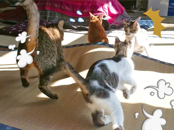 猫カフェめおまるけの和室で遊ぶ猫達の写真2