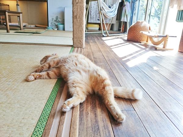 猫カフェめおまるけの和室スペースでへそ天している猫の写真
