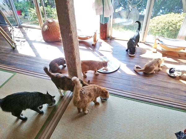 猫カフェめおまるけの和室スペースでご飯を食べるたくさんの猫の写真