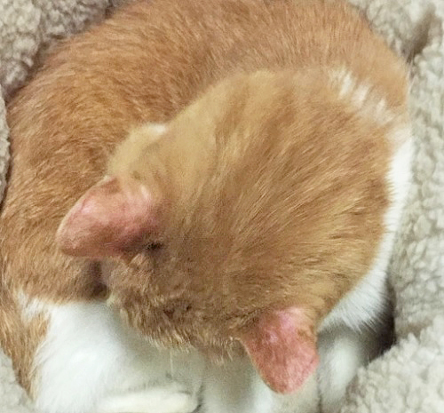 猫の耳がはげている写真