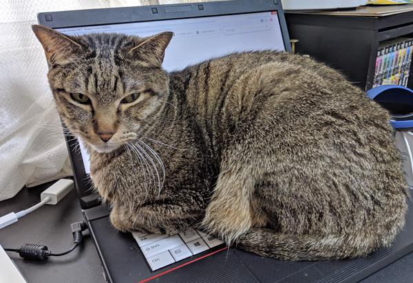 キーボードにのる猫の写真